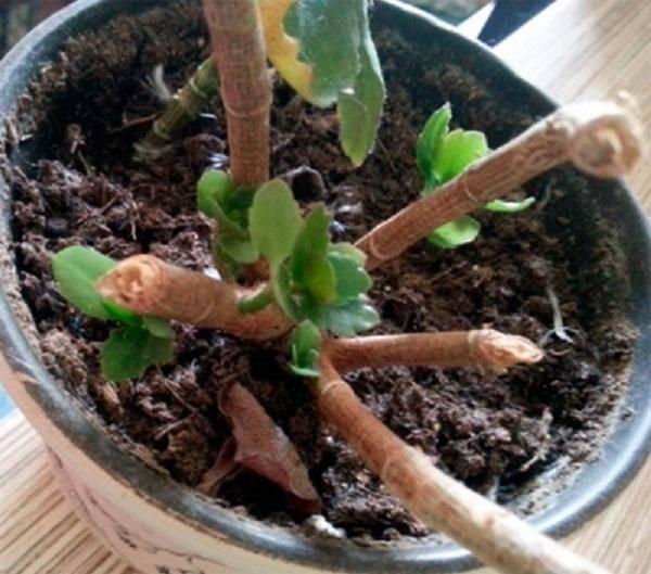 Как выращивать каланхоэ в домашних условиях