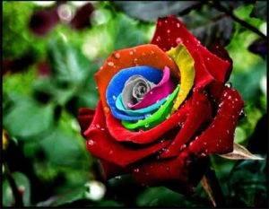 Как бороться с мучнистой росой на розах
