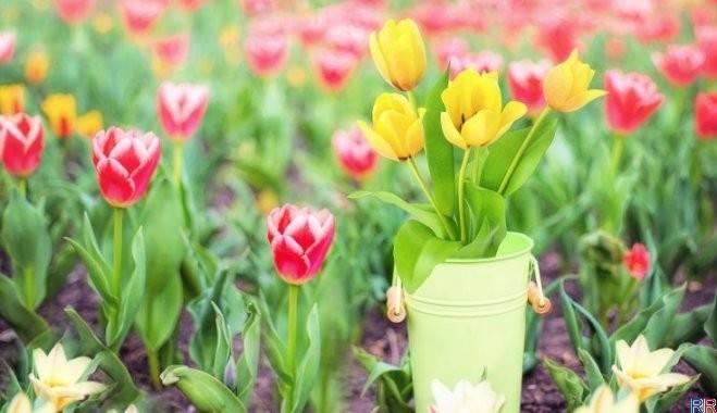 Надо ли выкапывать тюльпаны каждый год
