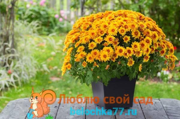 Как ухаживать за хризантемой