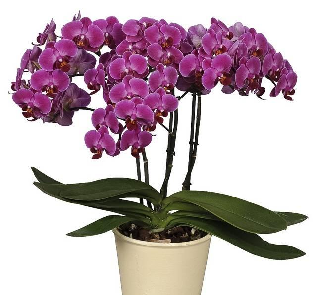 Почему орхидея не выпускает цветонос