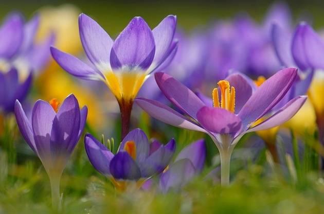 Крокус цвет