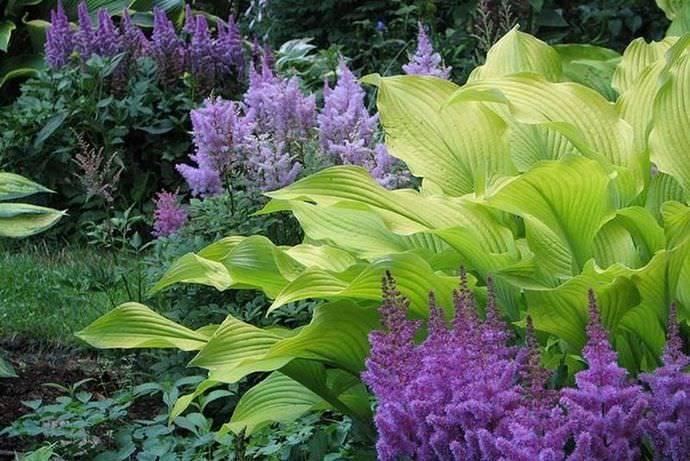 С какими растениями сочетаются хосты