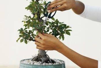 Маленькие деревья бонсай