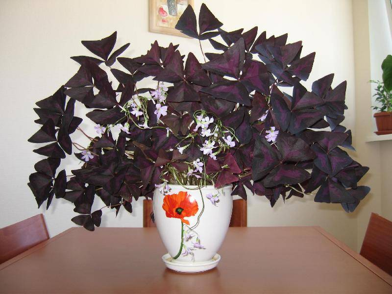 Неприхотливые домашние цветущие цветы