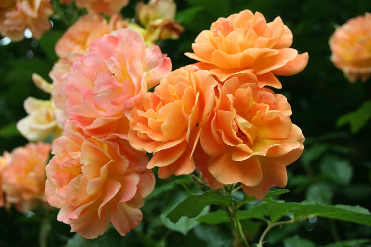 Парковые розы уход и выращивание