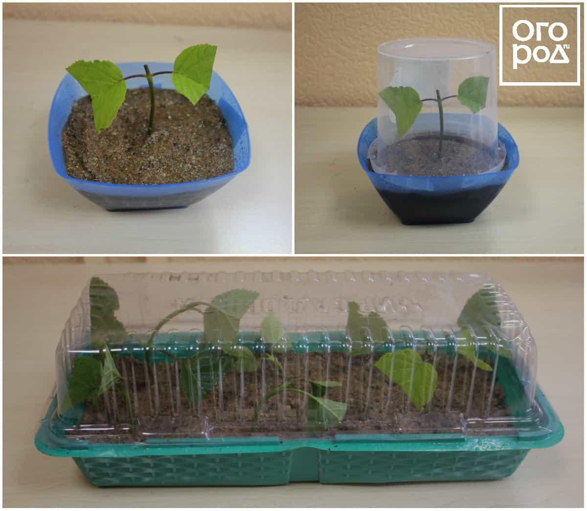 Как вырастить гортензию из черенка