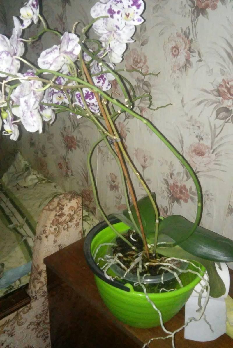 Можно ли у орхидеи обрезать корни