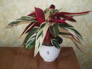Комнатное растение с бело зелеными листьями