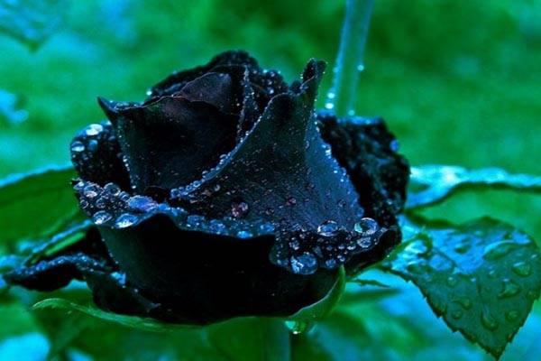 Оранжевые розы значение