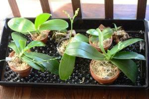 Как разводить орхидеи
