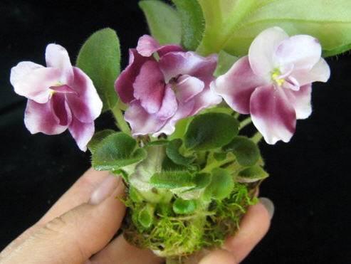 Можно ли пересаживать фиалку во время цветения