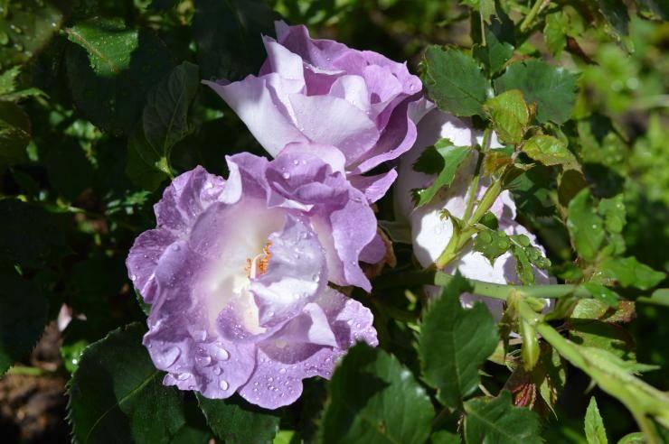 Лучшие сорта плетистых роз для подмосковья