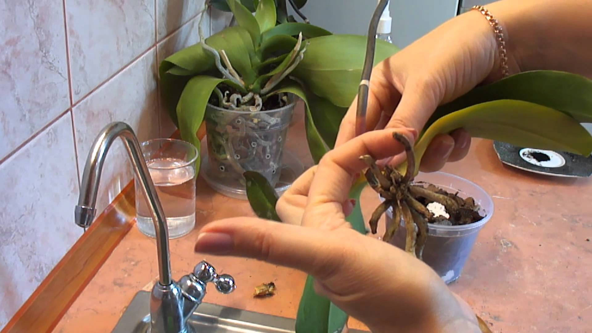 Орхидея без листьев но с корнями