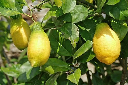 Сорт лимона Лунарио