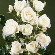 Ред диадем роза