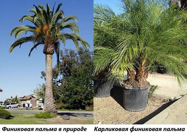 Финиковая пальма в природе и карликовая финиковая пальма