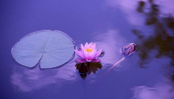 5d29556267d7b5d29556267dbb Белый лотос цветок — Все цветы
