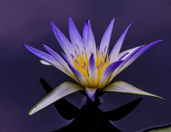 5d295572f29405d295572f2988 Белый лотос цветок — Все цветы
