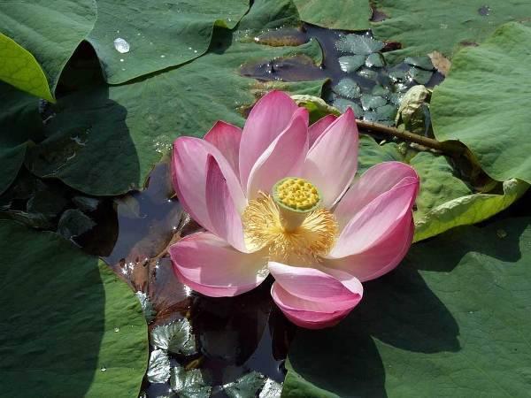 5d2955730c82e5d2955730c884 Белый лотос цветок — Все цветы