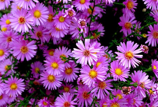 Цветок сентябринка