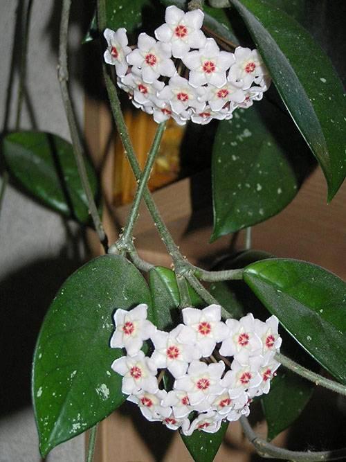 Домашний цветок с большими листьями