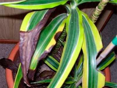 На листьях драцены коричневые пятна
