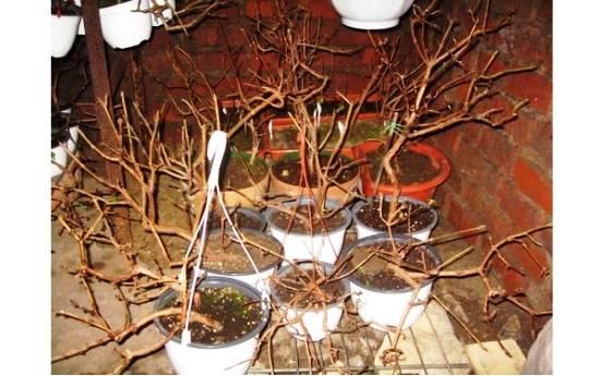 Бругмансия выращивание