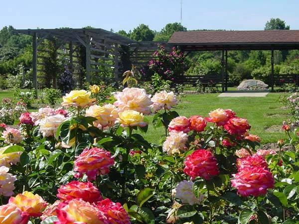 Как посадить саженец розы