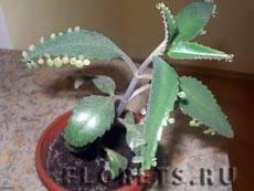 Растение доктор от насморка