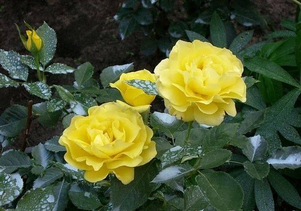 Самые неприхотливые розы