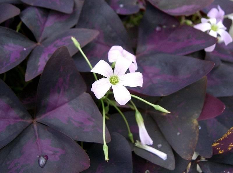 Комнатные растения с фиолетовыми листьями