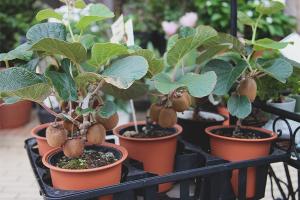 Как выращивать герань в домашних условиях