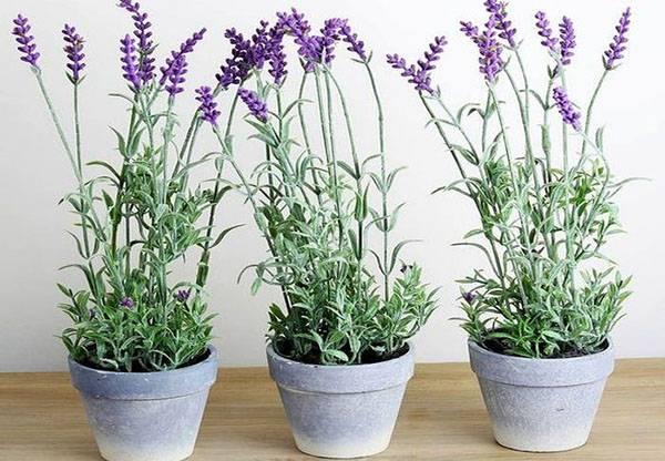 Как выращивать лаванду в домашних условиях