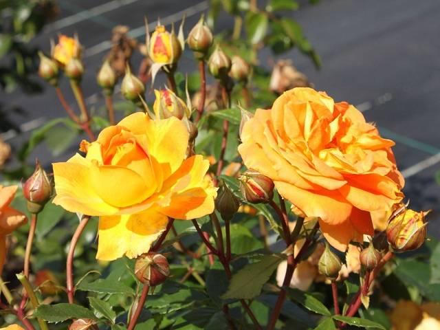 Роза голден эльза
