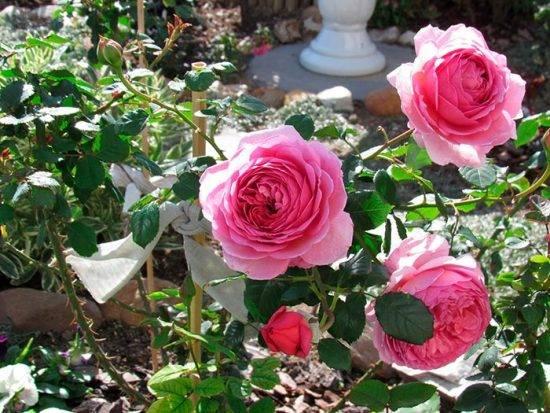 Принцесса александра оф кент роза