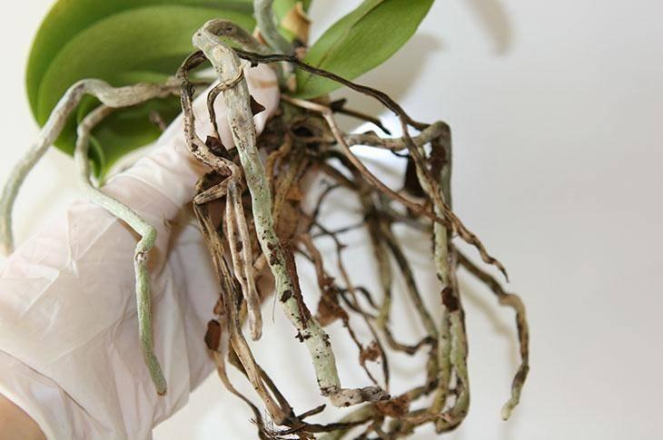 У орхидеи вялые листья