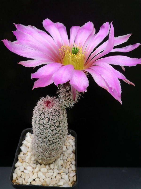 Сорта кактусов