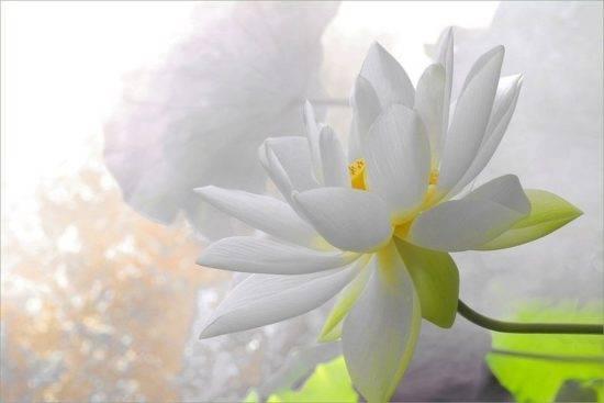 Цвет лотос