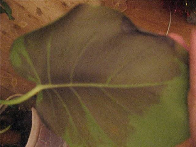 Почему у монстеры сохнут кончики листьев