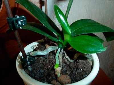 Размножение орхидеи черенками в домашних условиях