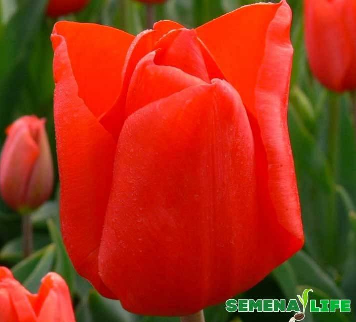 Размножение тюльпанов семенами в домашних условиях