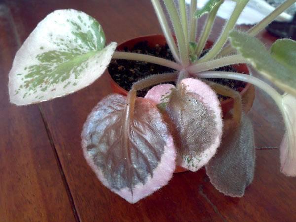 Коричневые пятна на листьях фиалки