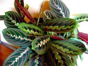 Марантовые комнатные растения