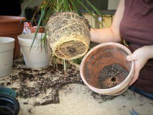 Комнатное растение как пальма