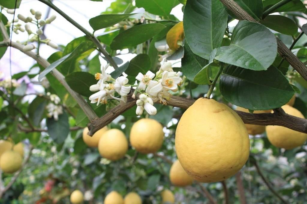 Лимон юбилейный