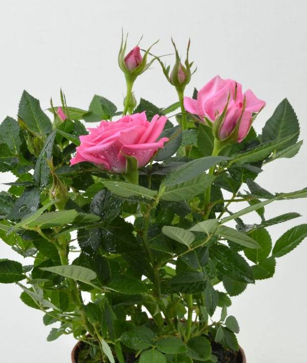 Роза кустовая в горшке