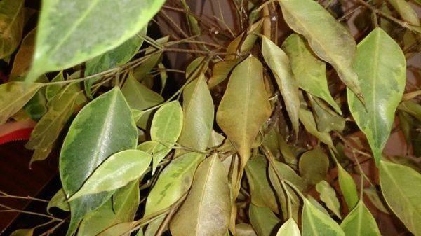 Фикус бенджамина желтеют листья и опадают