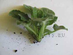 Как правильно посадить фиалку листочком
