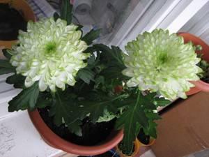 Хризантема микс